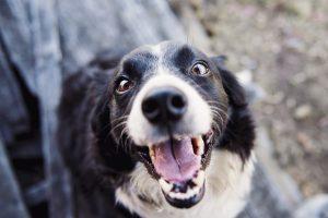 Zakaj pes laja in kako mu pomagati
