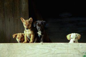 Izberimo psa pri odgovornem vzreditelju