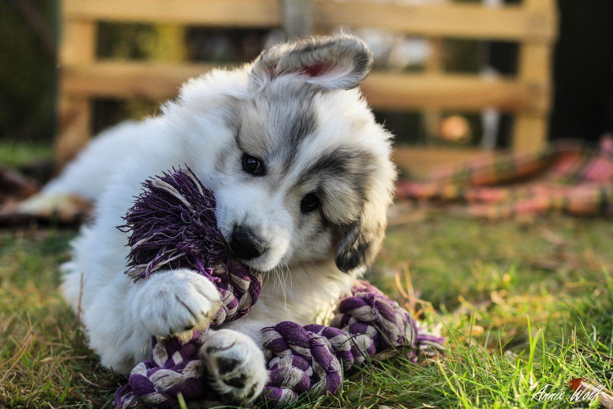 Pirenejski planinski pes