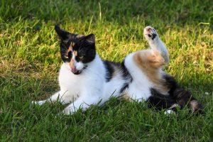 Bolezni spodnjih sečil pri mačkah
