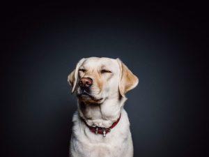Kakšni so znaki, ko psa boli?