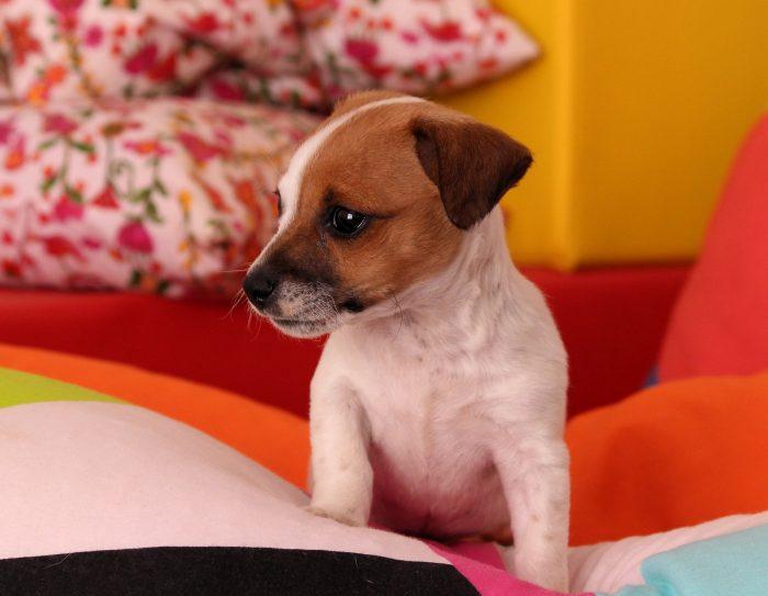 Pasja parvoviroza - najhuje prizadene mladičke