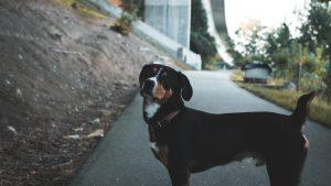 Je pes, ki maha z repom, res vedno vesel?
