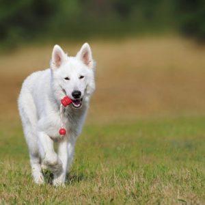 swiss-shepherd-dog-dog-white-animal-46523
