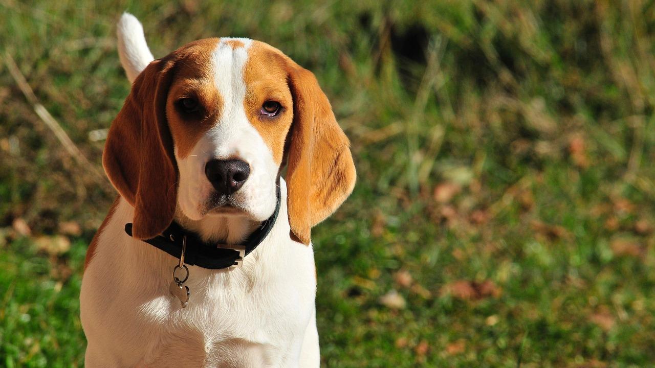 9 majhnih pasem za ljudi, ki imajo radi velike pse