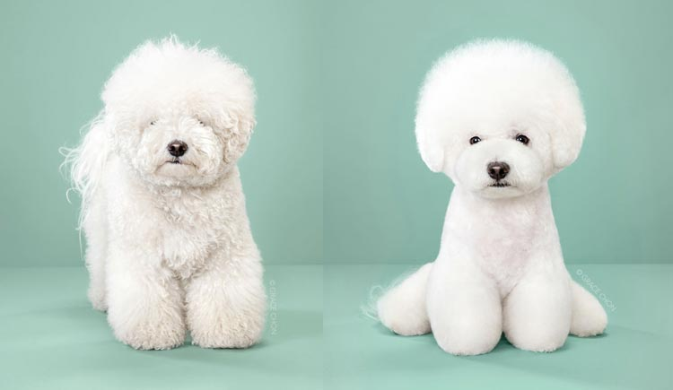 Psi pred in po 'japonskem striženju'