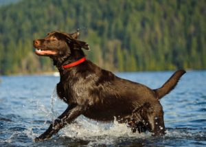 Med gonitvijo je psički priporočljivo preprečiti plavanje