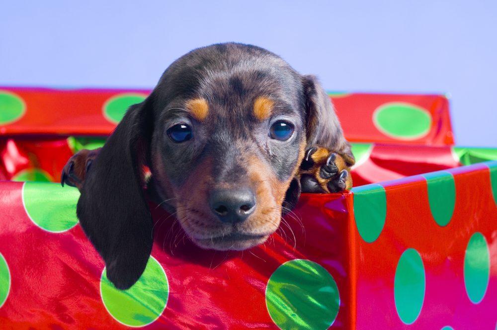 Pes ni primerno darilo