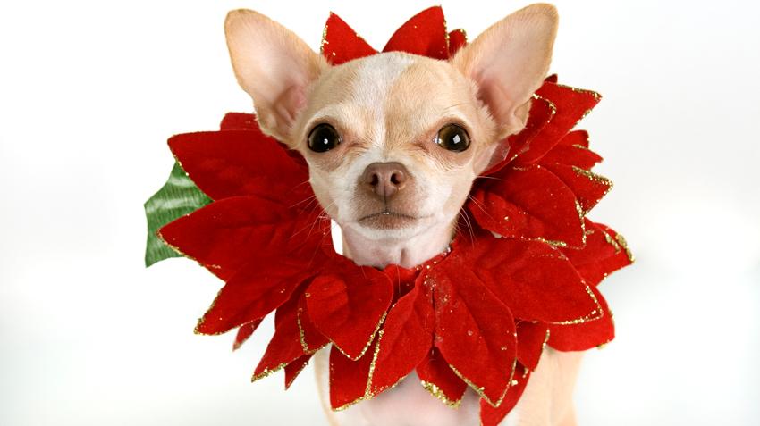 Božična zvezda je za pse in mačke rahlo strupena