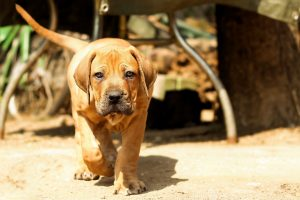 Boerboel (južnoafriški mastif), prisrčen bojevnik