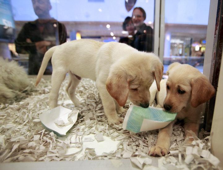 Velika Britanija prepoveduje prodajo pasjih in mačjih mladičkov v trgovinah z živalmi