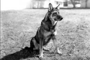 Rin Tin Tin, verjetno najbolj znan nemški ovčar na svetu