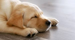 Kaj položaj spanja pove o psu?