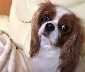 Išče se psička Alisia, ki ima doma mladičke!