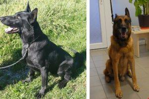 Policijska psa Lux in Hilton iščeta nov dom