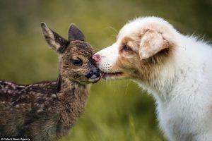 12-tedenski avstralski ovčar 'posvojil' zapuščenega jelenčka