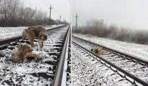 Poškodovano psičko pred vlaki 2 dni reševal samček