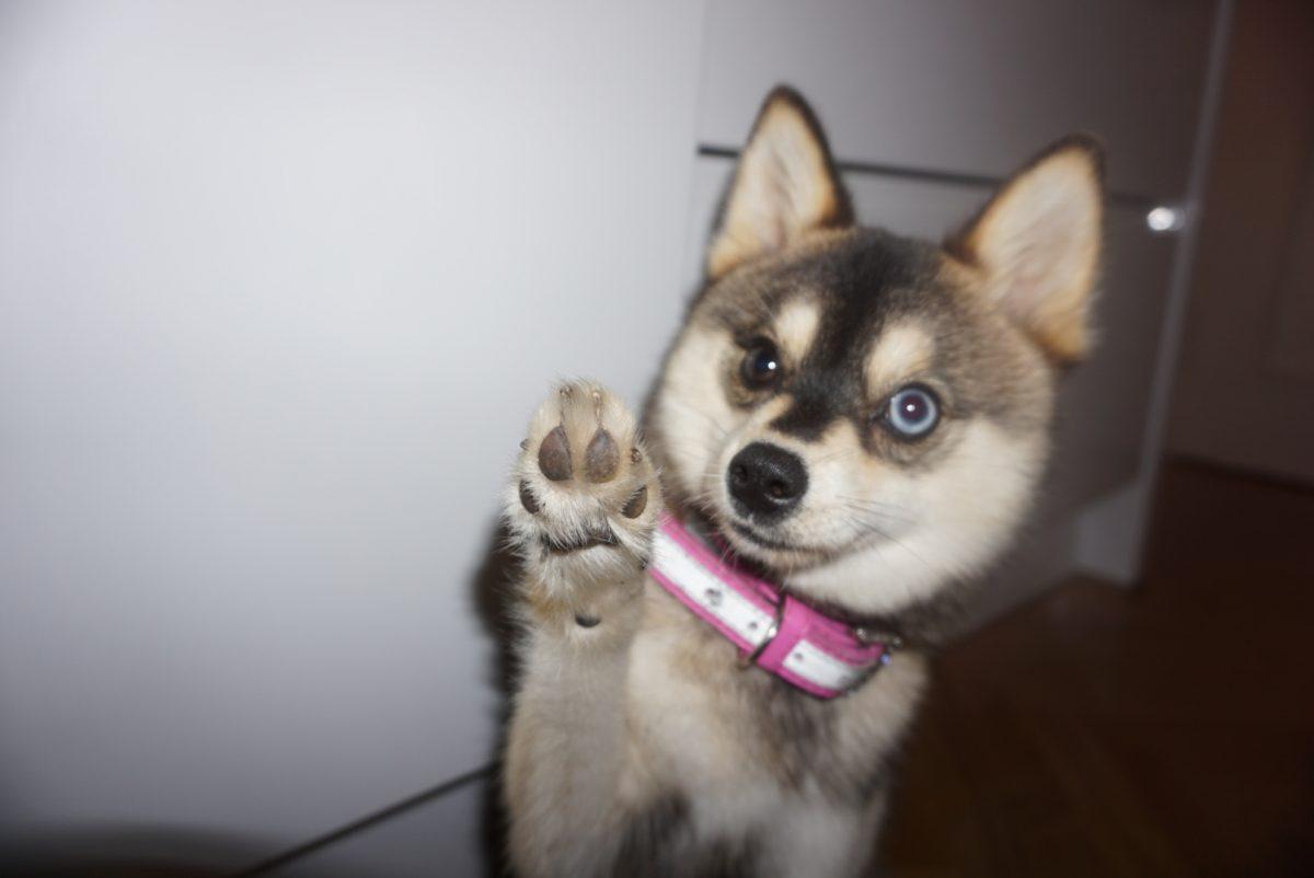 Za donosno prodajo ustvarjeni 'dizajnerski psi'