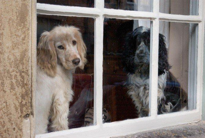 Drugi pes v hiši ne pozdravi ločitvene tesnobe prvega