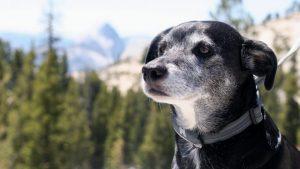 Kakšni so znaki demence pri pasjih seniorčkih?
