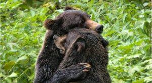 Ko cirkuška medveda po 17 letih prvič izkusita svobodo