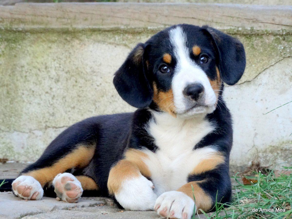 Entlebuški planšarski pes