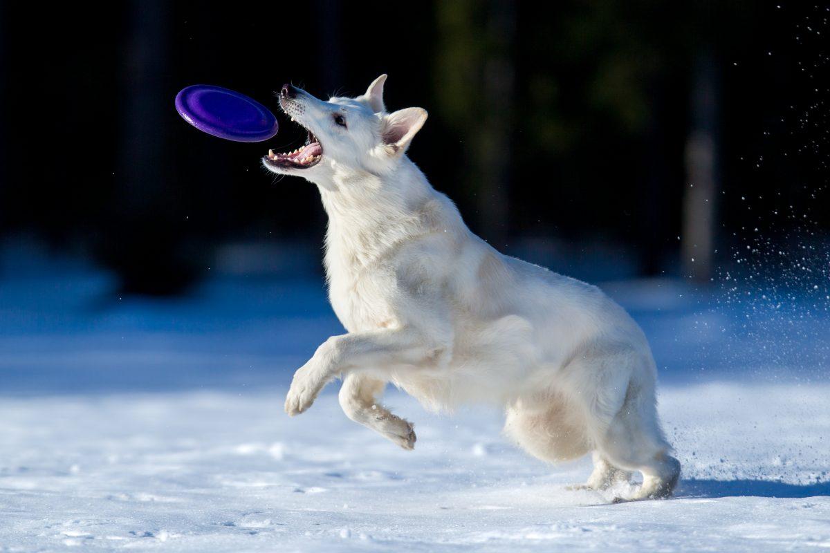 To soboto zimsko tekmovanje v pasjem frizbiju