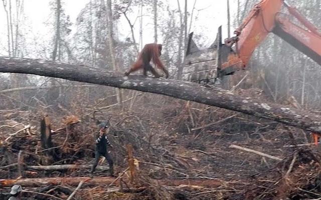 Ganljiv posnetek, kako orangutan brani svoj dom pred človeškim uničenjem