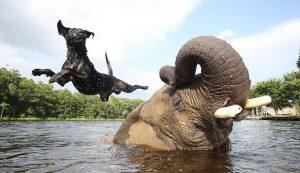 Nenavadno prijateljstvo: slon in (leteča) psička