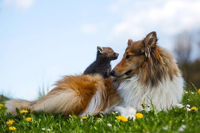 Psička posvoji lisičko, ko ta izgubi mamo v prometni nesreči