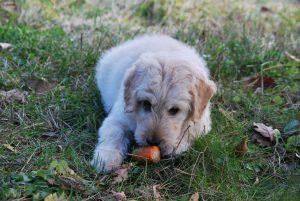 Vse več ljudi bi pse in mačke hranilo izključno z rastlinsko hrano