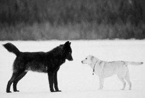 Psi v mestecu na Aljaski so se spoprijateljili z volkom