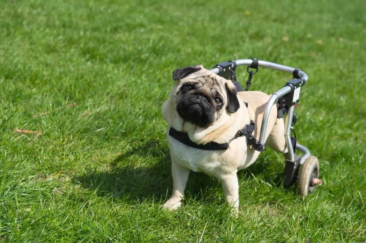 92-letni upokojeni veterinar, ki že 60 let izdeluje invalidske vozičke za živali