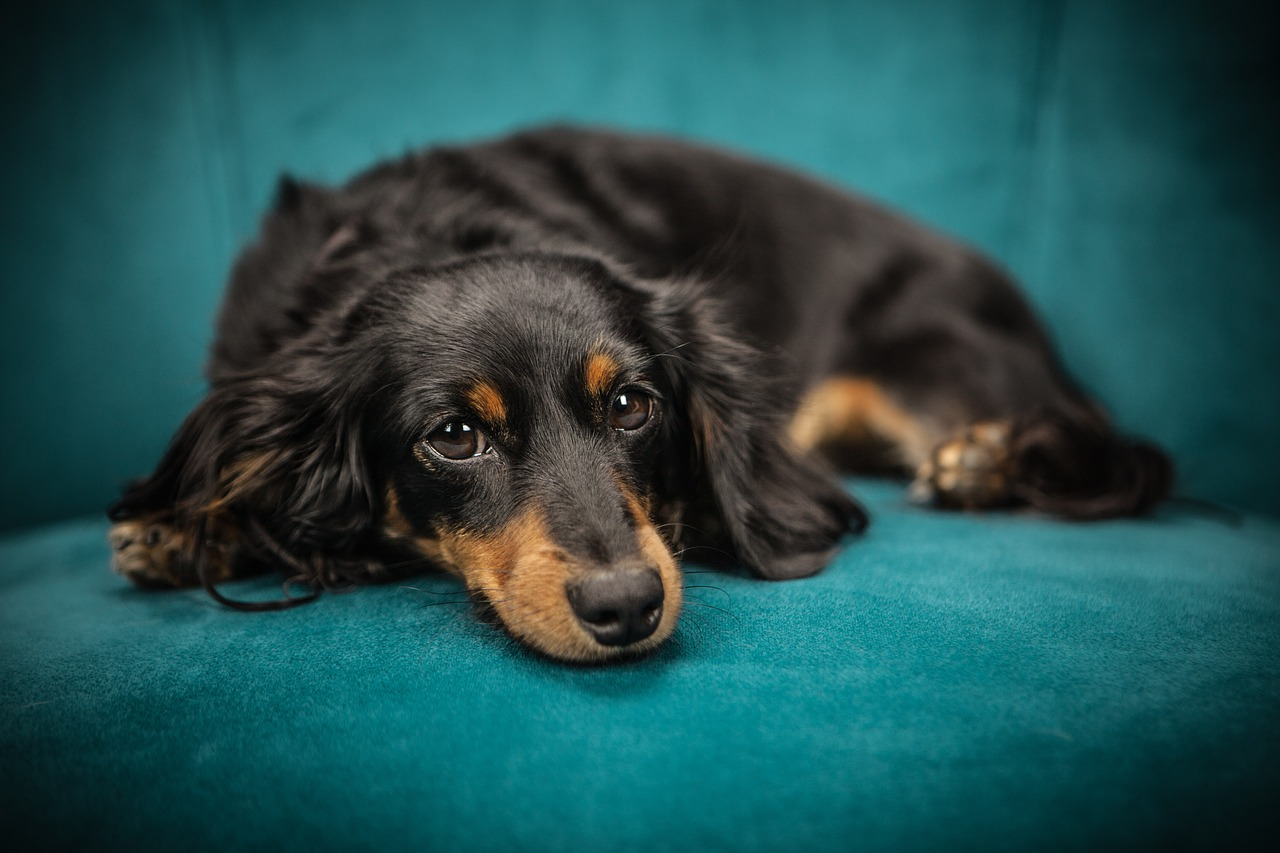 Pasje varstvo - od hotela do kavča