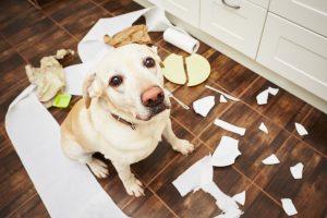 Ko pes žveči in uničuje stvari