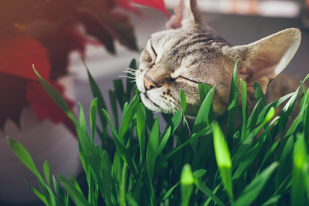Mačji svet: zelenje je več kot samo mačja trava