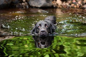 Plavanje s psom