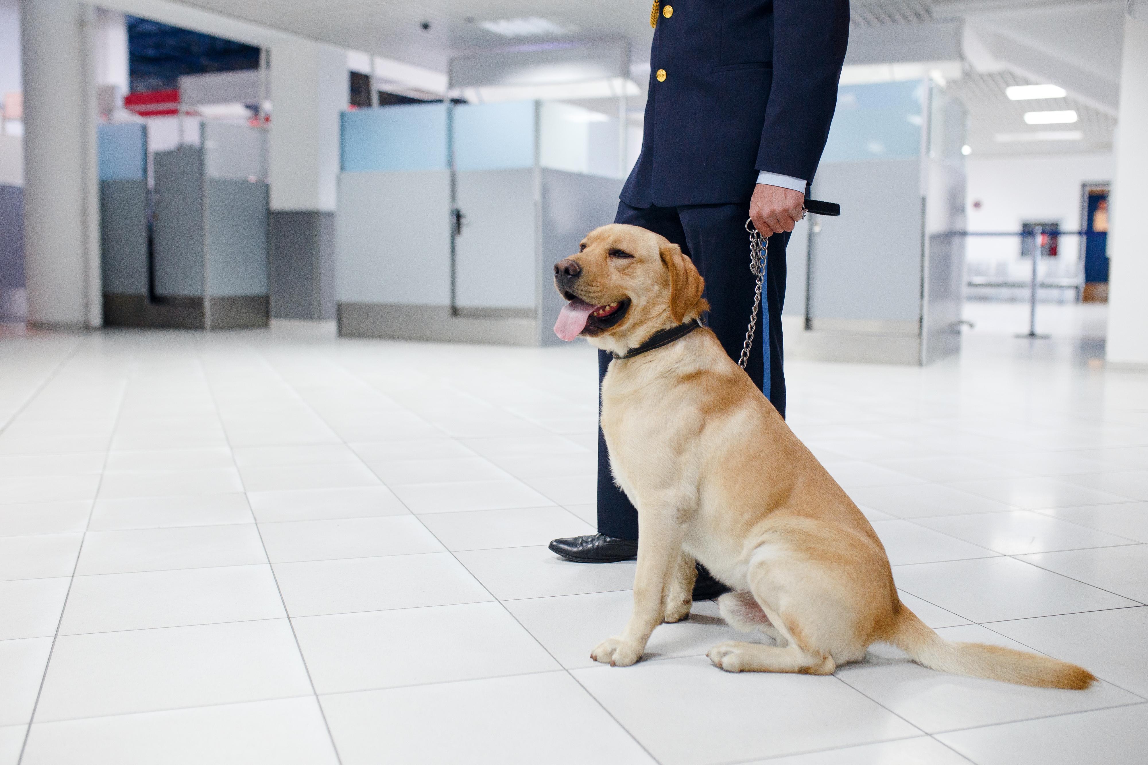 Na letališču v Sydneyju psi tolažijo potnike