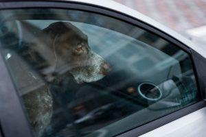Kaj storiti, če opazite žival v zaklenjenem avtomobilu?