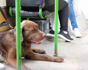Na piranskih avtobusih dobrodošli psi