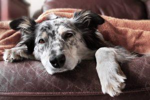 Kako vemo, da ima pes črevesne zajedavce?