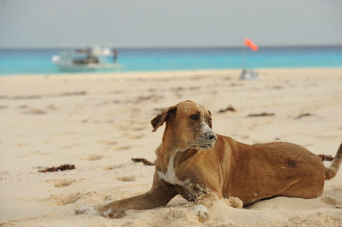Čudež: pes, ki je preživel mesec dni po hurikanu na Bahamih