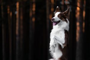 Border collie trio rešuje gozdove po požarih