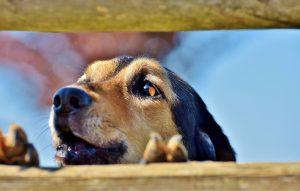 Preglasen pes: kako ukrepati?