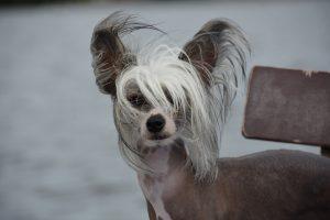 Kitajski goli pes