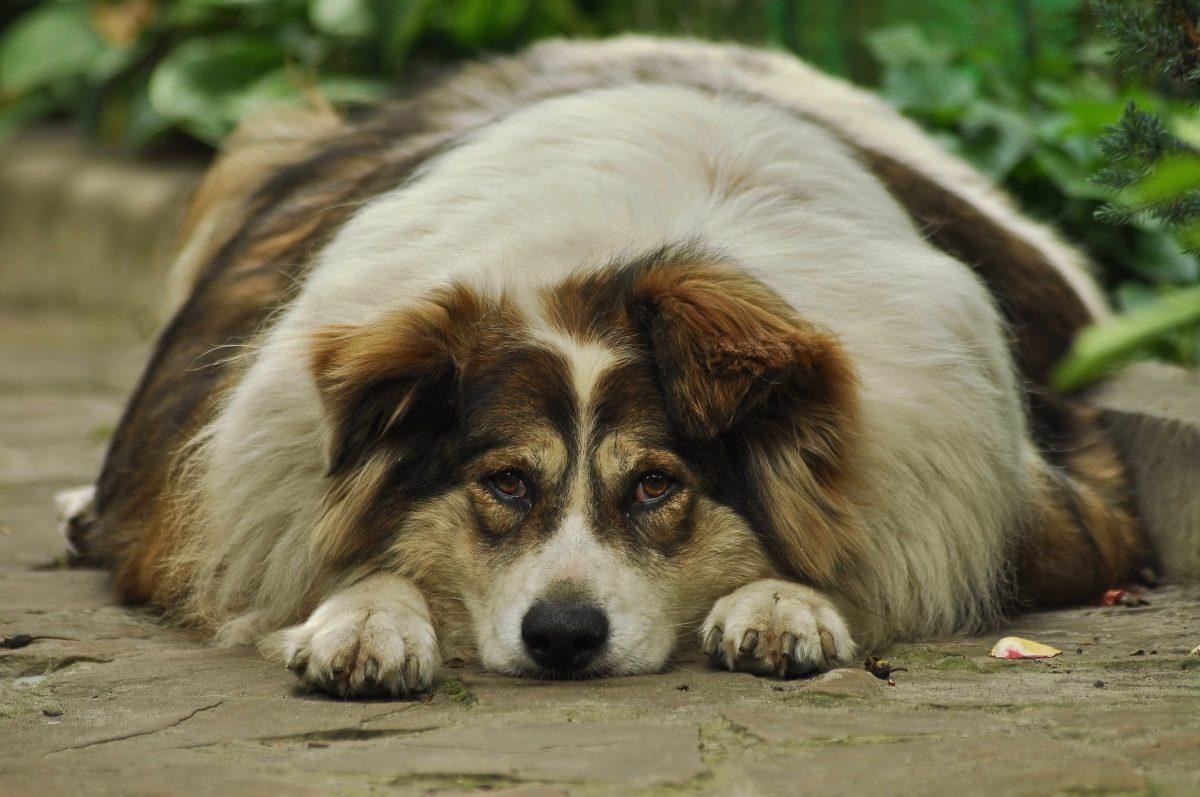 Vzroki za debelost pri psih