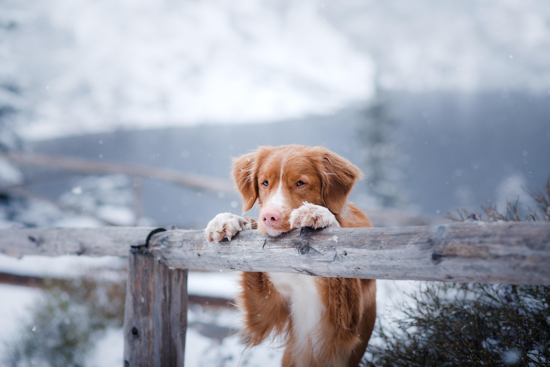 Zaščita pasjih tačk pozimi