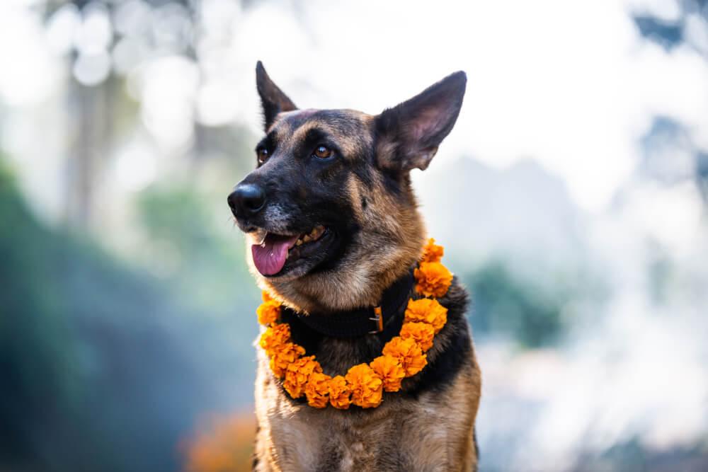 V Nepalu imajo festival, na katerem se zahvalijo psom, da so naši prijatelji