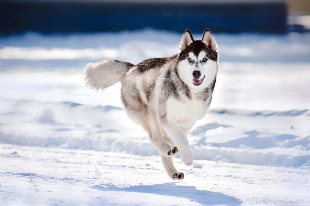 Sneg in mraz: 9 pasem, ki obožuje zimske razmere