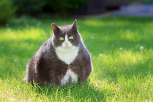 Mačke, ki so predebele, še vedno veljajo za 'luštne' in 'simpatične'